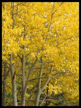 Black cottonwood in autumn