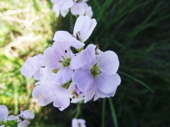Cuckoo flower. Past and present medicinal uses.