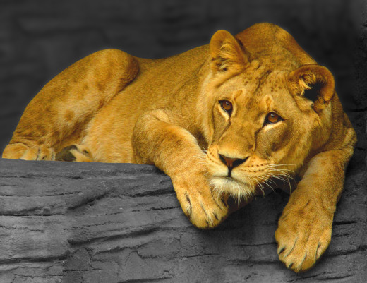 Lioness,_Olomou...