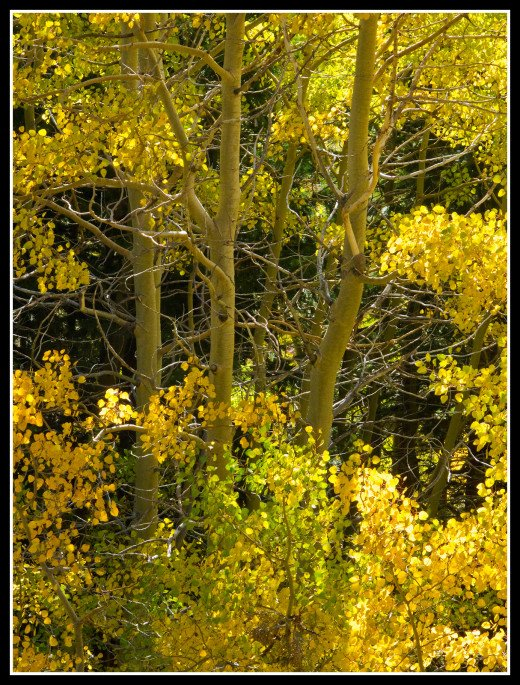Autumn aspens along the trail