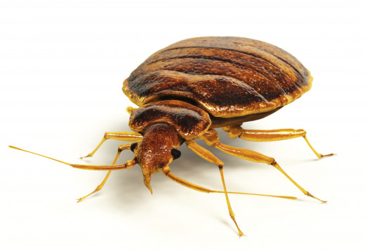 What is the best way to kill bed bugs?