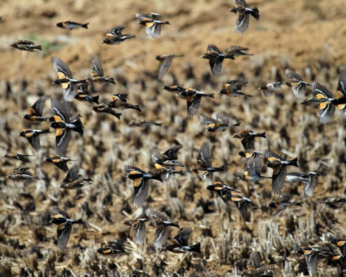 Large flock over rice paddy.