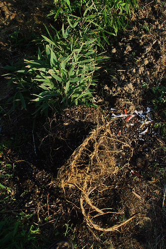 Bamboo rhizomes are particularly difficult to kill.