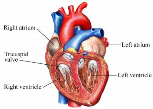 Normal tricuspid orifice is larger than the mitral orifice (7cm2 ). The tricuspid leaflets differ from the mitral leaflets in being thinner, more translucent and less clearly separated into well defined leaflets.