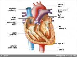Clinical Features And Diagnosis Of Infective Endocarditis