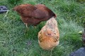 The Chicken Chronicles:  Minerva Boldly Goes Where Others Dare To Dream