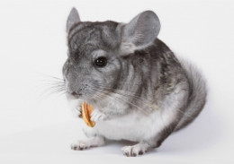Aren't chinchillas simply adorable!!!