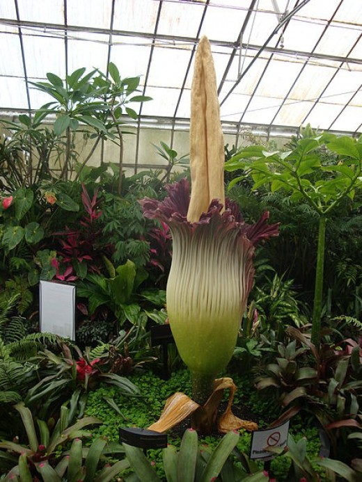 In this photo, there is a leaf-parasol to the right of the flower of another Amorphophallus titanum in vegetative state