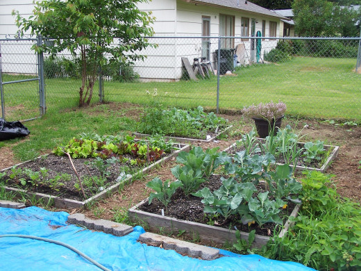 Growing our own vegetables