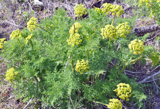 Lomatium plant in flower