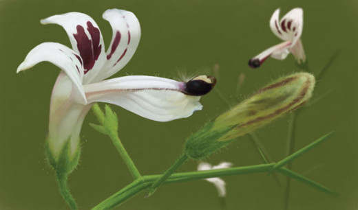 Andrographis flower