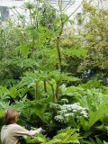 Botanical Giants #2: Heracleum mantegazzianum - The Giant Hogweed or Giant Cow Parsnip