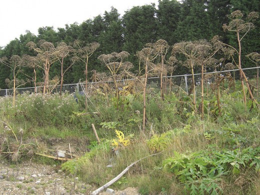 A mature (gone to seed) patch of Giant HogWeed