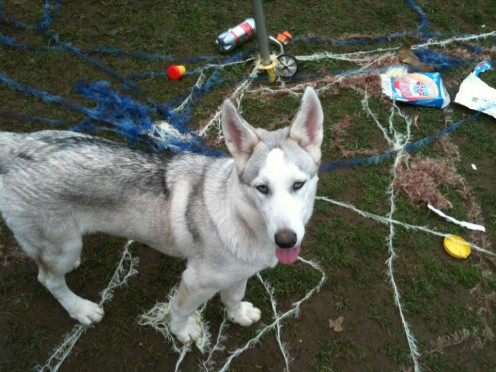 The Damage and Destruction Caused by Huskies