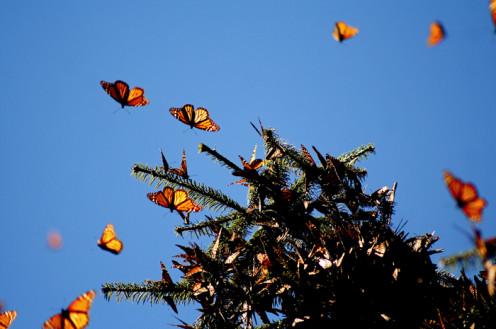 Santuario de la mariposa monarca en Edomex Monarch butterfies wintering