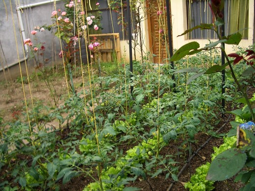 A vegetable garden can provide a range of delicious vegan and vegetarian foods.