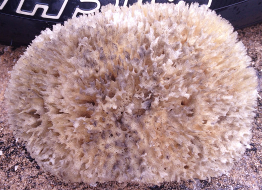 Natural Sea Wool Sponge Dirty After Cleaning Rim