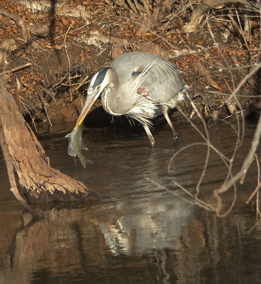 Great Blue Heron with Crappie