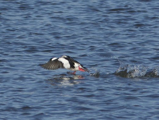 Male Bufflehead on the wing