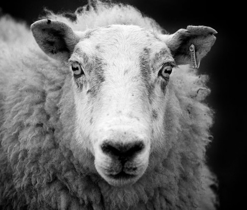Black and White photo of an Ewe Sheep in Scotland. 23 April 2009. By George Gastin.