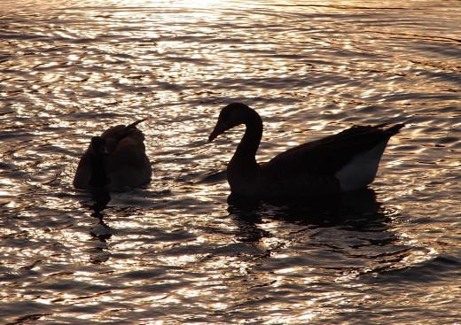 Geese at Dusk - Tualatin, OR