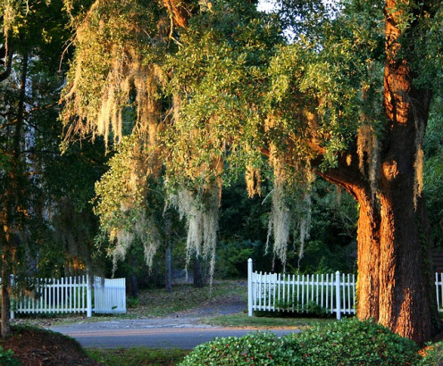 Spanish moss at a South Carolina Plantation and garden spot.