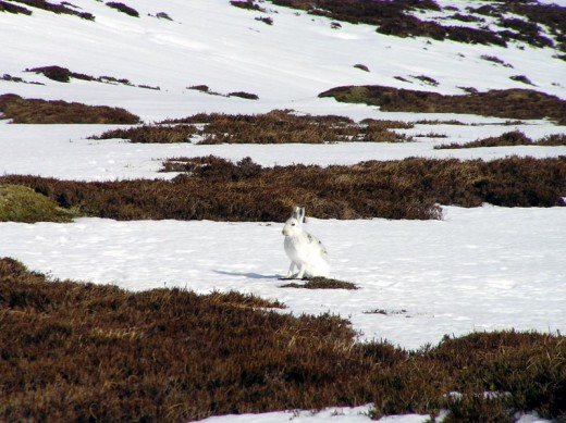A mountain hare in its white winter coat