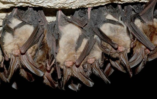 Hibernating Virginia big eared bats