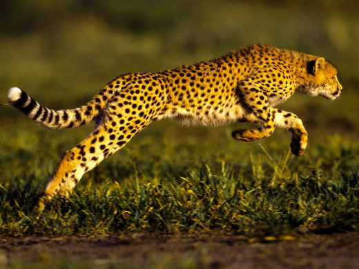 A Snapshot Of The Cheetah.