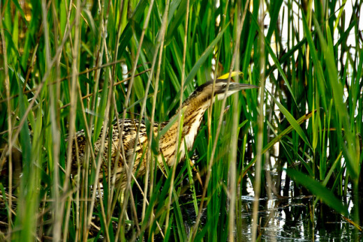 This bittern's contrasting coloration and horizontal body help it stand out against a vertical background.  Look for such contrasts to find more birds