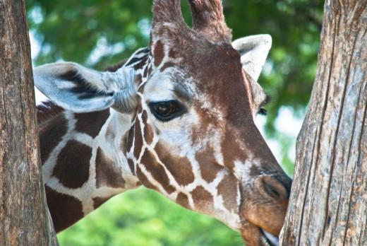 Giraffe Licking Tree
