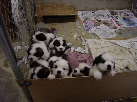These cute little puppies might capture your heart, but it is important to keep in mind that they will grow.