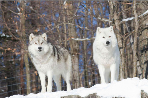 A Snapshot Of Arctic Wolves.