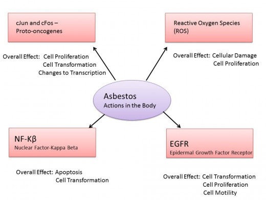 Illustration based on information in Heintz 2010 paper-Asbestos, Lung Cancers, and Mesotheliomas: From Molecular Approaches to Targeting Tumor Survival Pathways.