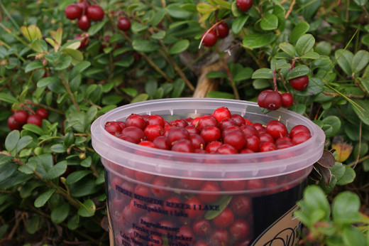 Lingonberries being harvested. See information on their health benefits and nutritional values in the charts provided