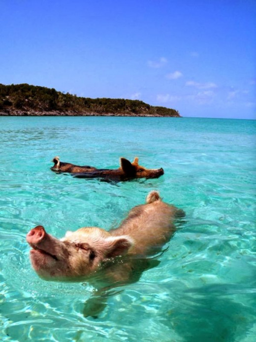 Swine Swimmers