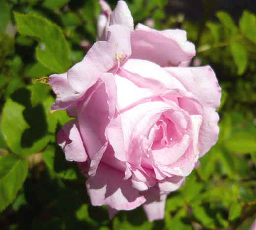 Rosa Coupe d, Hebe