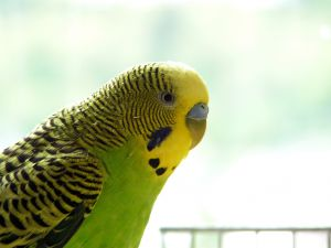 You can even teach a budgie to talk!