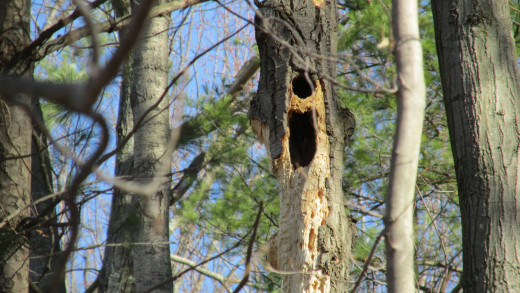 Former Pileated Woodpecker Nest Cavity converted into squirrels' winter home.