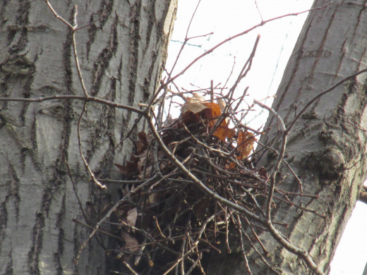 Twig nest in crotch of tree.