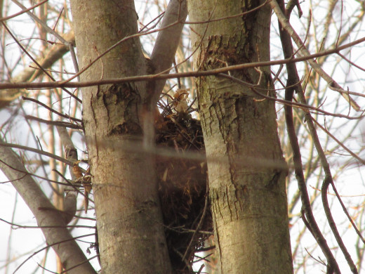 Deep nest wedged between two large tree trunks.