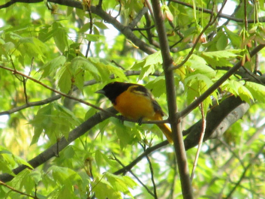 Male Northern Oriole in all his glory!