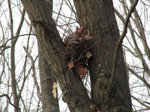 American Robin nest looks precarious, but it's still there from last season!