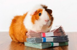 Kids love Abyssinian guinea pigs because they have lots of personality.