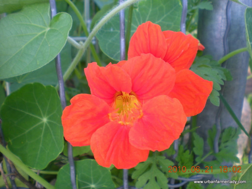Grow Edible Flowers - Nasturtium - Companion Plant