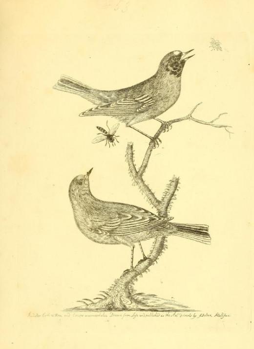 Harmonioa ruralis {1746}