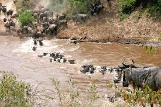 Wildebeest Migration--Serengeti to Maasai Mara National Park