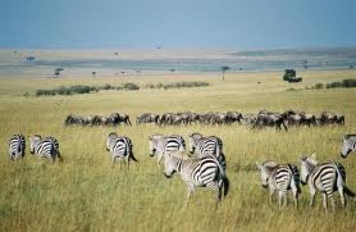 Zebra in the Wildebeest Migration