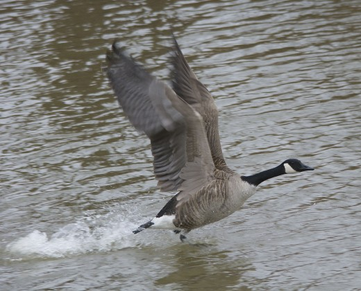 Canada Goose Takes Flight