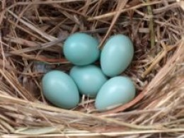 Starling eggs in nest.